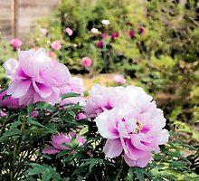 Pink flowers of Peony by yumehana