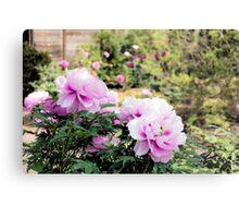 Pink flowers of Peony Metal Print
