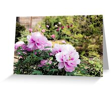 Pink flowers of Peony Greeting Card