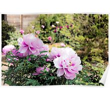 Pink flowers of Peony Poster
