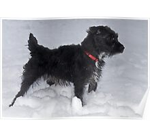 Bailey - The Patterdale Terrier Poster
