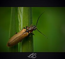 Soldier Beetle (Female) by Colin Shanley