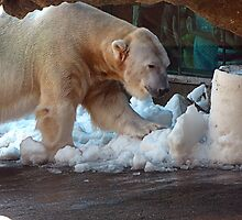 Polar Bear Snow Cone  by Chuck Gardner