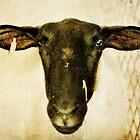 Black Faced Sheep by Alicia Adamopoulos