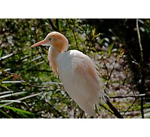 Cattle Egret in Breeding Plumage Photographic Print