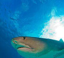 Tiger Shark by Greg Amptman