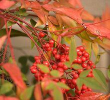 red holly3 by Deweyreg