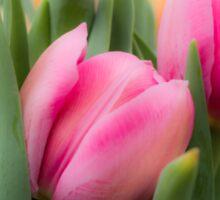 Soft Tulips Sticker