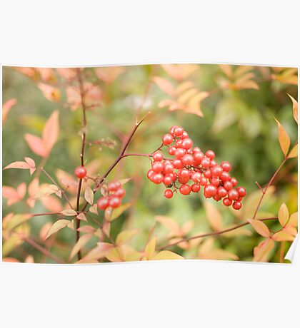 red holly berries4 Poster