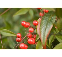 red holly berries5 Photographic Print