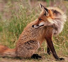 Red Fox Mom  by angelcher