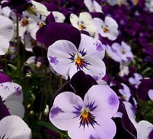 The joyful pansies by Eugenio