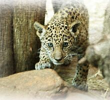 Jaguar cub by Sandy Keeton