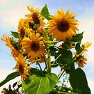 Sunflowers by Alicia  Liliana