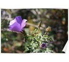wild hibiscus 2, Fitzgerald River NP, WA Poster