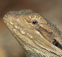 Eastern Bearded Dragon by Andrew Trevor-Jones