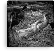 Farm Ducks Canvas Print
