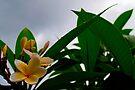 frangipani by gary roberts