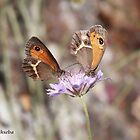 Spanish Gatekeeper butterflies by Hugh J Griffiths