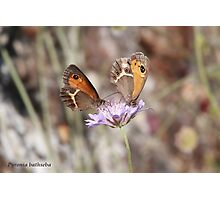 Spanish Gatekeeper butterflies Photographic Print