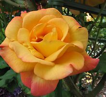 Orange Rose 2 by art2plunder