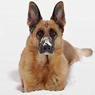 Snow Portrait Of A German Shepherd Dog by AngieM