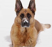 Snow Portrait Of A German Shepherd Dog by AngieM