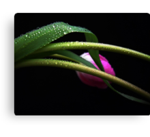 Gentle Tulip. Canvas Print
