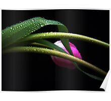 Gentle Tulip. Poster