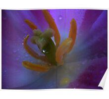 Tulip macro. Poster