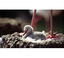 Flamingo Chick in Nest Photographic Print