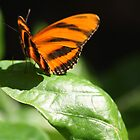 Banded Orange Butterfly by April-in-Texas