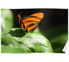 Banded Orange Butterfly Poster