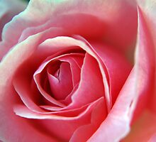 Pink Rose - NSW by CasPhotography