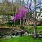 Arkansas Ozarks  ~  Spring Scenic Forest Redbud by NatureGreeting Cards ©ccwri