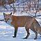 Best FOX capture!