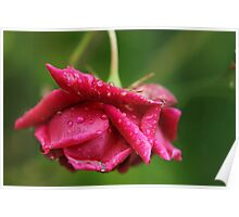 Rose and raindrops Poster