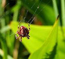 Garden Spider by Laurel Talabere