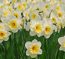 Daffodils by roumen