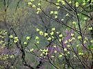 Sassasfras Blossoms by NatureGreeting Cards ©ccwri