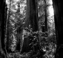 California Redwoods by Jeffrey  Sinnock