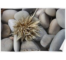Beach flower - Aldinga Beach, South Australia Poster