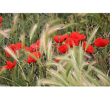 Grain and Poppies Photographic Print