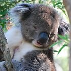 Snoozing Koala by Helen Greenwood