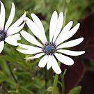 Little White Flower by S S
