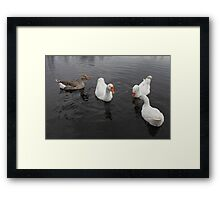 Domestic geese Framed Print