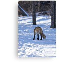 Well, That's Embarrassing - Red Fox Canvas Print