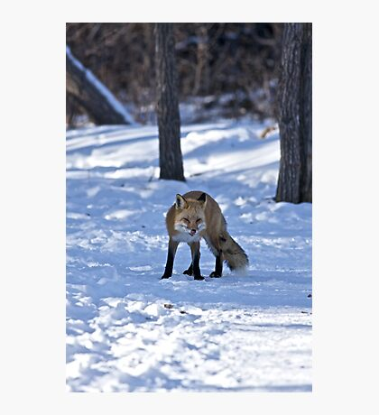 Well, That's Embarrassing - Red Fox Photographic Print