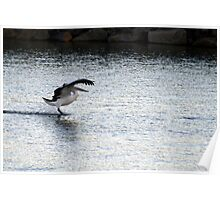 Gliding on the surface, Victor Harbour SA Australia Poster