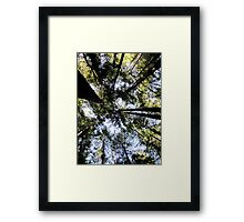 Gazing upwards in the Avenue of the Giants Framed Print